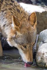 Wolf drinking, again