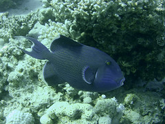 Blue/Redtoothed Triggerfish