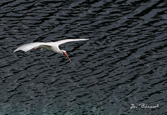 Ibis - Bradenton River Club