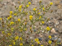 vinegarweed, Lessingia glandulifera var. glandulifera