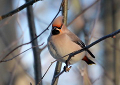 Waxwing on the branch.