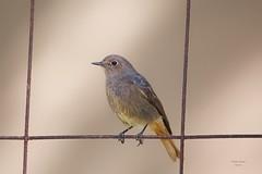 Rabirruivos (Black Redstarts)