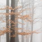 Beech Woodland by Rachel Dunsdon