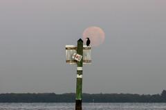 Full Moon Cormorant 2