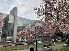 Pink magnolias in bloom and World Bank headquarters, Washington, D.C.