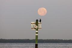 Full Moon Cormorant