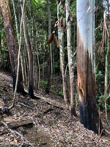 Burning into Rainforest Margins in  Gully - Oxygen Farm, Elands, Bulga Plateau, NSW