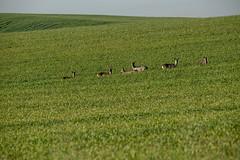 deer in Daganzo