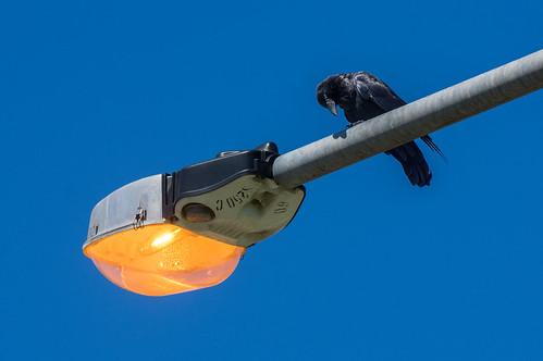 Crow 'n' glow