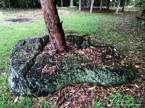 Lophostemon confertus - Brush Box Growing in a Stump, Oxygen Farm, Elands, Bulga Plateau, NSW