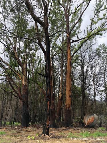 Burnt Eucalypts Following the Rumba Dump Fire, Bobin, West of Wingham NSW 8th November 2019