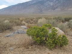 green rabbitbrush, Ericameria teretifolia