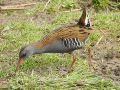 Water Rail DSCN6228