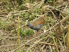 Water Rail emerges DSCN6226