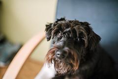 Black dog portrait closeup