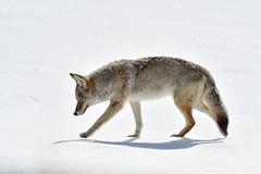 Coyote on Snow