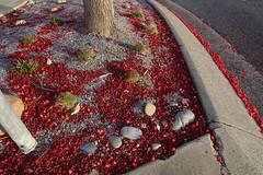 Flame Kurrajong - Fallen dry flowers