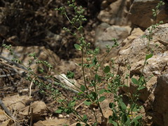 mountain goosefoot, Chenopodium atrovirens