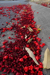 Flame Kurrajong - Fallen and dry flowers