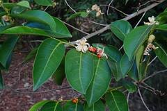 Fruiting 'Cheese tree' (Glochidion ferdinandi )