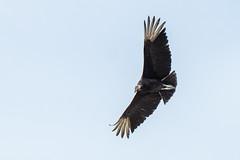Punta Gorda Trip 2020 - Turkey Vulture