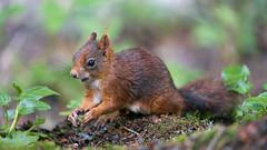 Closeup of a quite squirrel