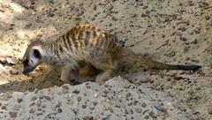 Memphis Zoo 08-29-2019 - Meerkats 28