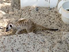 Memphis Zoo 08-29-2019 - Meerkats 27