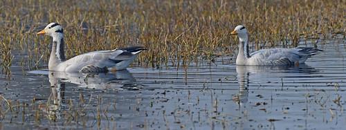 Bar-headed Goose (Anser indicus) DSC_0079