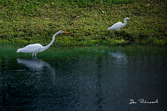 snowy and great egrets - Riverview Bradenton Florida