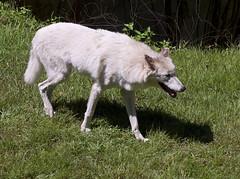 Memphis Zoo 08-29-2019 - Wolves 25