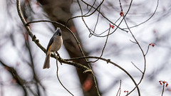 Tufted Titmouse in my Tree