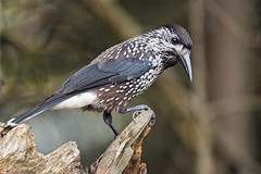 Perched spotted nutcracker