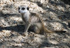 Memphis Zoo 08-29-2019 - Meerkats 25