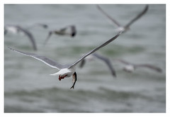 gulls and herring