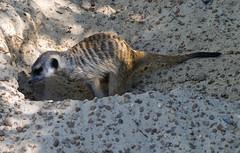 Memphis Zoo 08-29-2019 - Meerkats 26