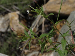 streambank willowherb, Epilobium ciliatum subsp. glandulosum