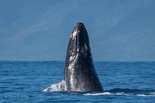 Humpback Whale 502_3914.jpg