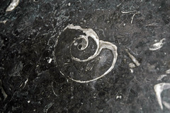 Maclurites magna (fossil gastropod) in limestone (Champlain Black Marble) (Crown Point Limestone, Middle Ordovician; Vermont, USA) 13