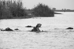 Hippos in the Cuando