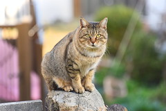 Nagasaki cat