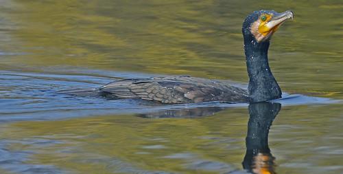 Great cormorant (Phalacrocorax carbo) DSC_0158
