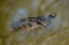 Yellow-bellied Slider Turtle - Stumpy Lake 1