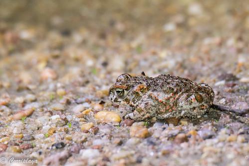 Sapo corredor natterjack toad (Epidalea calamita)