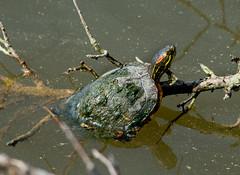 Yellow-bellied Slider Turtle - Stumpy Lake 2