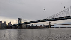 Gulls Over Manhattan Bridge