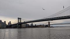 Gulls Over Manhattan Bridge
