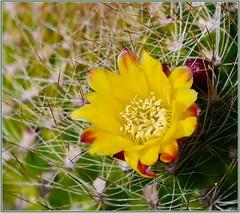 Tiny Yellow Cactus Flower