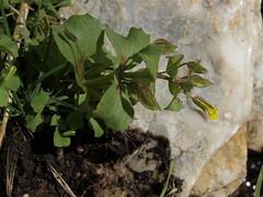 bignose monkeyflower, Erythranthe nasuta