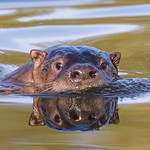 Two-faced Otter